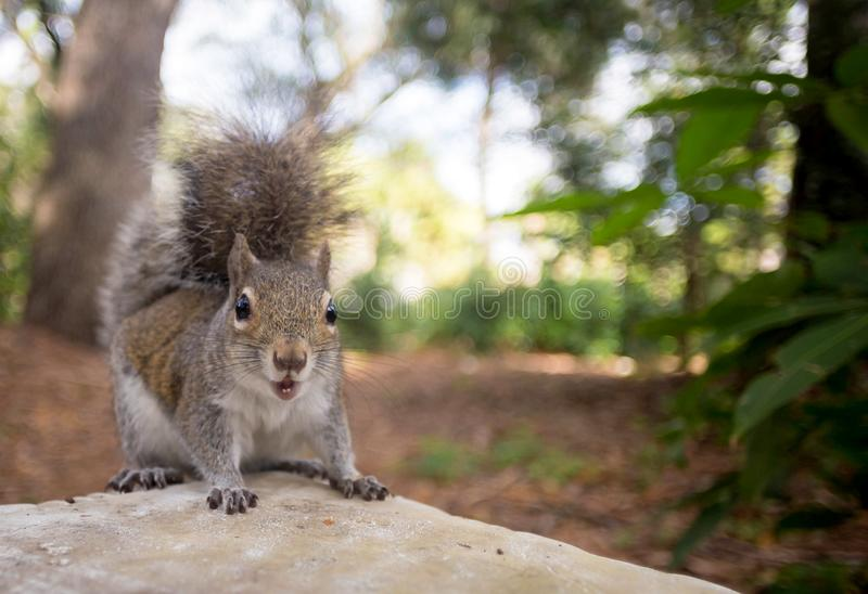 A friendly backyard squirrel smiles for the camera. The Eastern Gray Squirrel, Sciurus carolinensis, is a sociable animal royalty free stock image