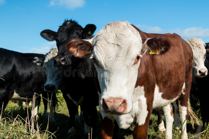 Friendly Cattle. Closeup of a white head cow in a herd of cattle royalty free stock images