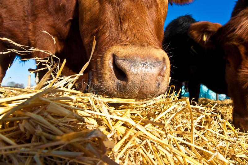 Friendly cattle on straw. With blue sky royalty free stock image