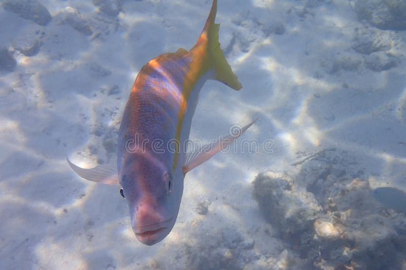 Friendly and curious Yellowtail snapper stock photography