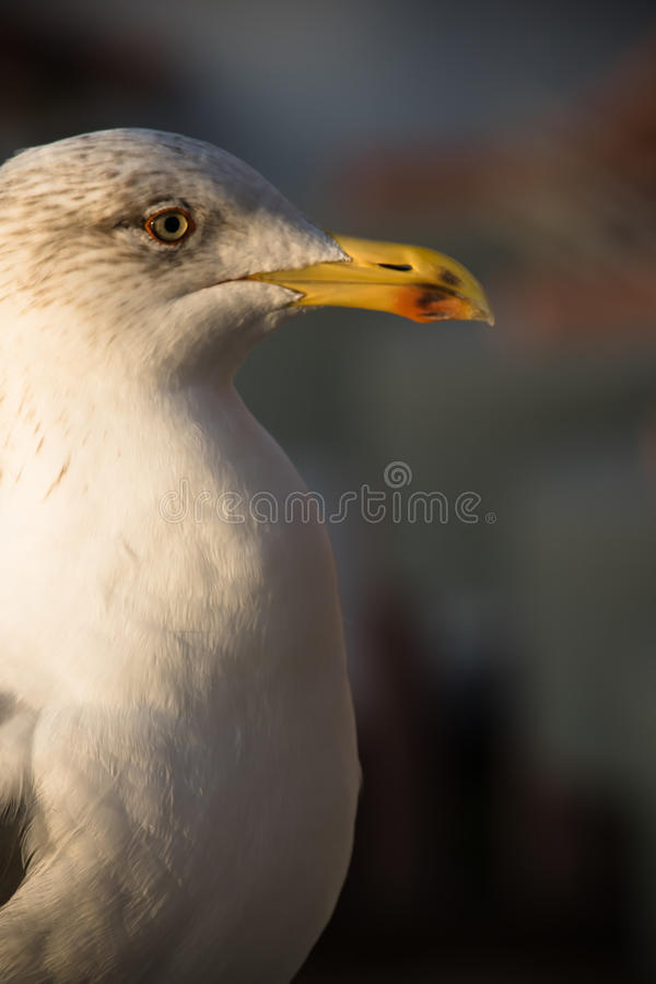 Friendly cute seagull profile face in sunrise stock photography