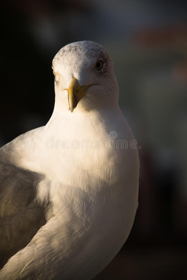 Friendly cute seagull in sunrise stock photography