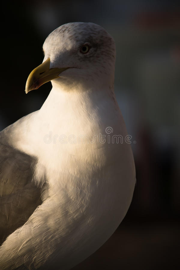 Friendly cute seagull in sunrise royalty free stock image