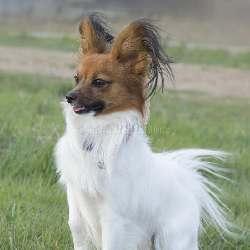 Friendly dog papillon plays on the lawn. Pet Care.  stock images