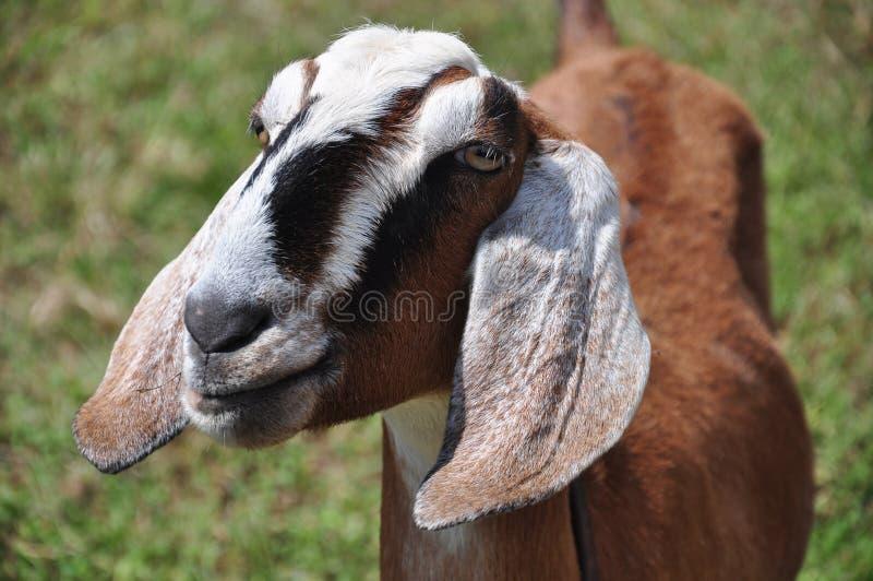 Friendly Farm Goat Royalty Free Stock Image