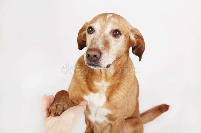 Friendly hand and paw shake, a brown dog. royalty free stock photo