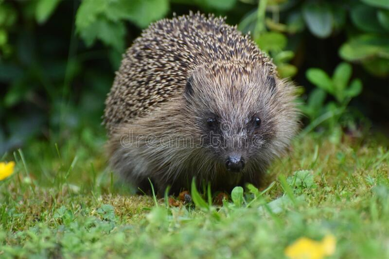 Hedgehog in a British garden close up stock image