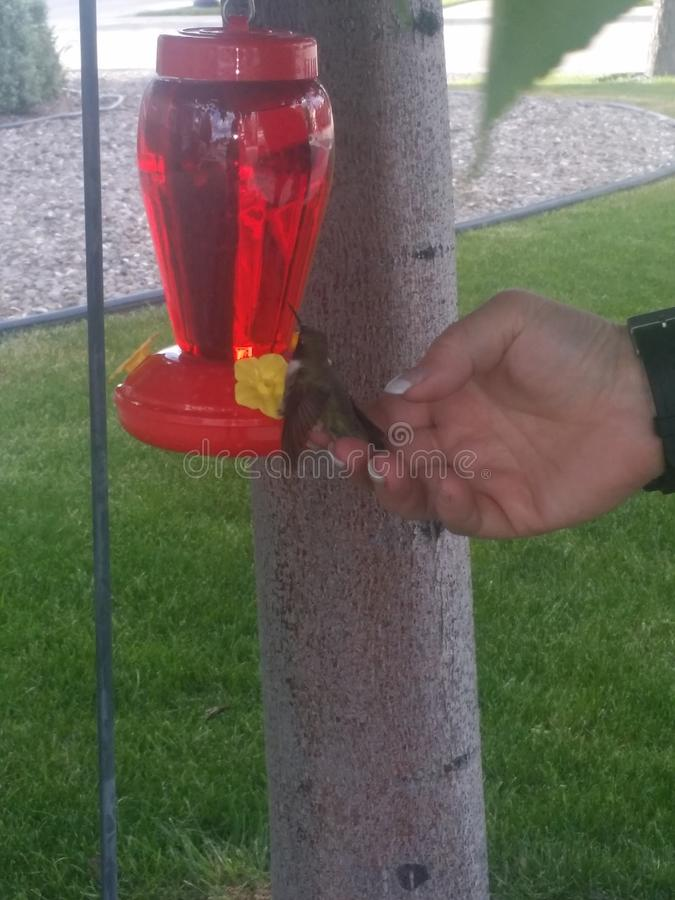 Friendly hummingbird stock image
