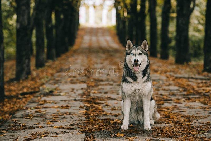 Friendly husky dog sitting on foliage. In autumn park stock photos