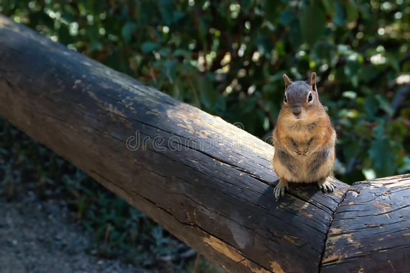 Friendly little Rocky Mountain Squirrel. A friendly little brown squirrel sits on a log in the Rocky Mountain National Forest in Colorado. He was hoping for a stock photos