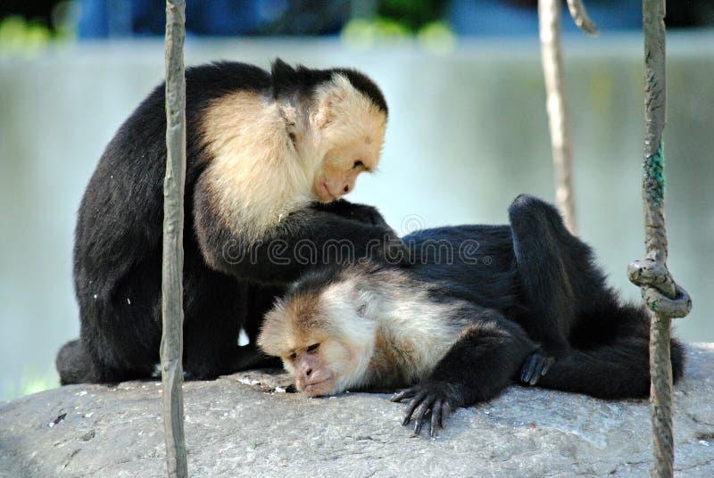 Friendly monkeys royalty free stock photography