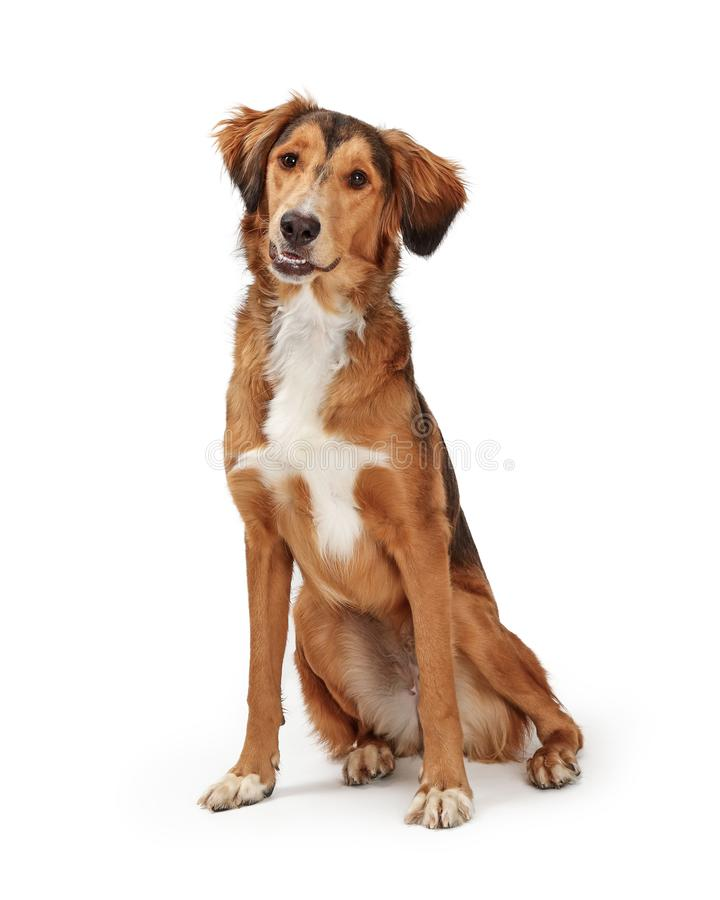 Friendly Obedient Saluki Dog Sitting Looking Forward. Friendly obedient Saluki and Golden Retriever dog sitting on white looking at camera stock images