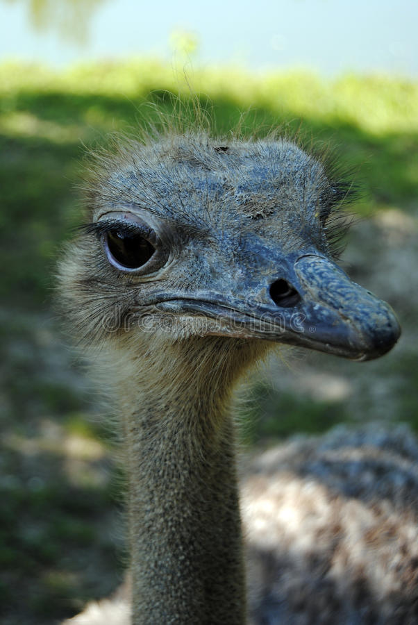 Friendly Ostrich royalty free stock photography