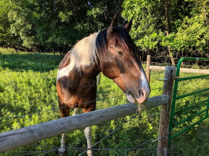 Patchwork Pony. This friendly pony is a brown and white patchwork horse royalty free stock photo