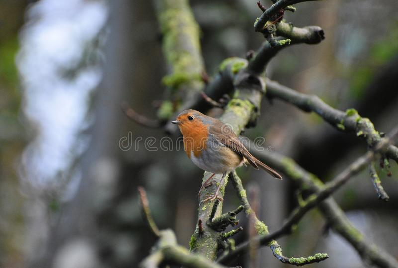 Robin Redbreast Bird. A friendly robin redbreast perched on a Winter branch. Taken in December in woodland in the UK royalty free stock images
