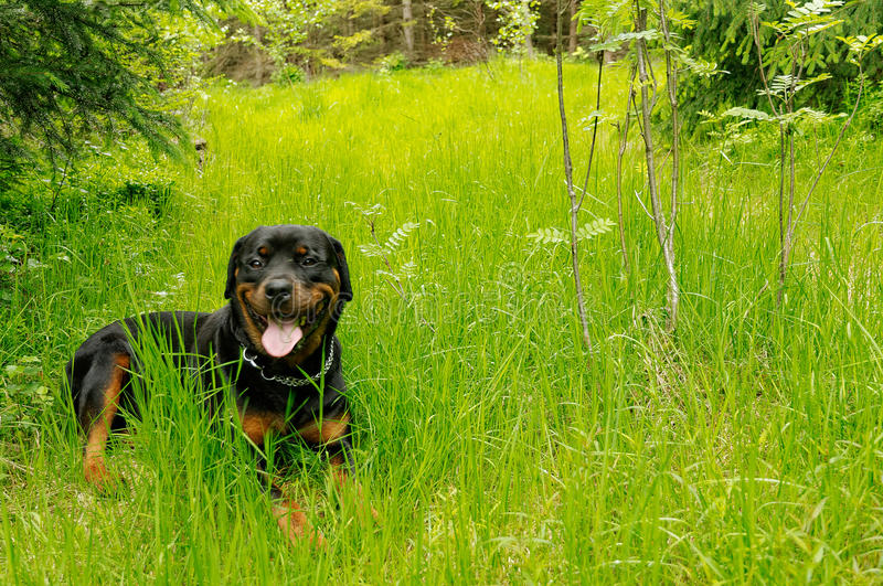 Friendly rottweiler giving a broad smile stock photo