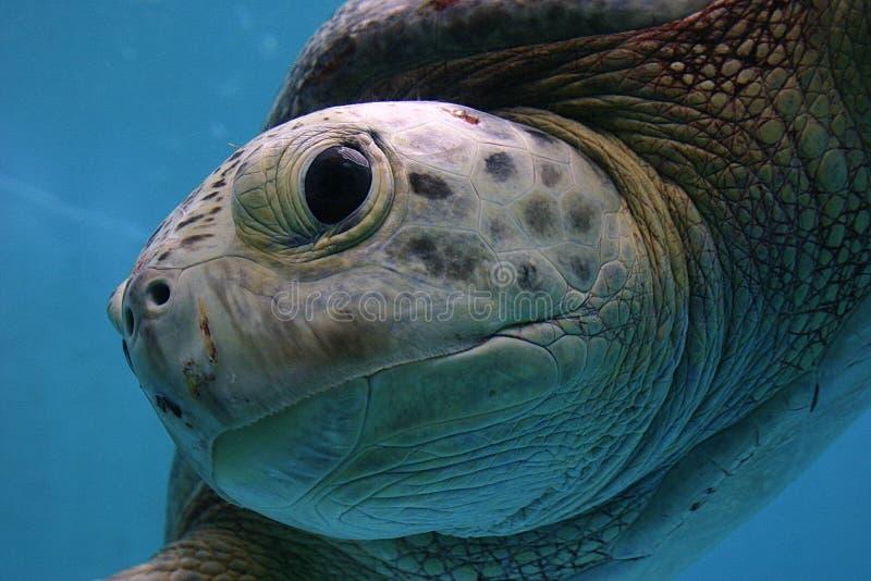Friendly Sea Turtle 3 stock image