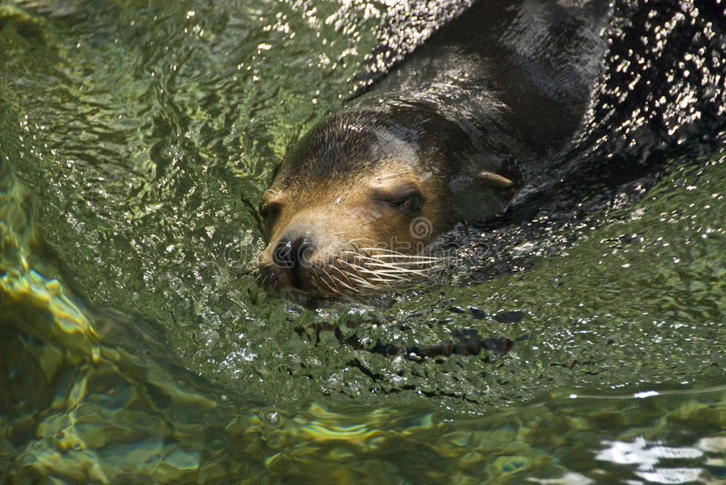 Download Friendly seal stock image. Image of green, friendly, swims - 3930083