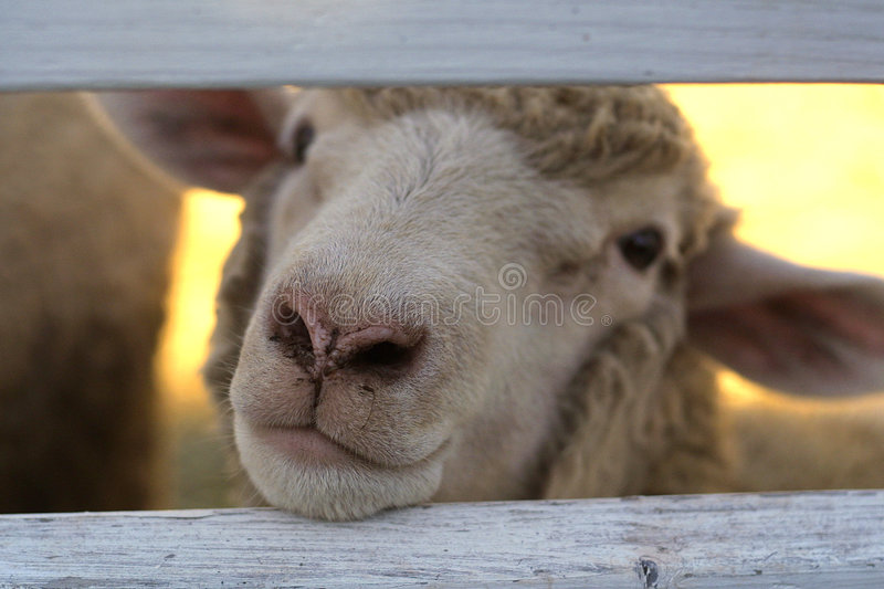 Download Friendly Sheep stock photo. Image of nose, beige, adorable - 2456354
