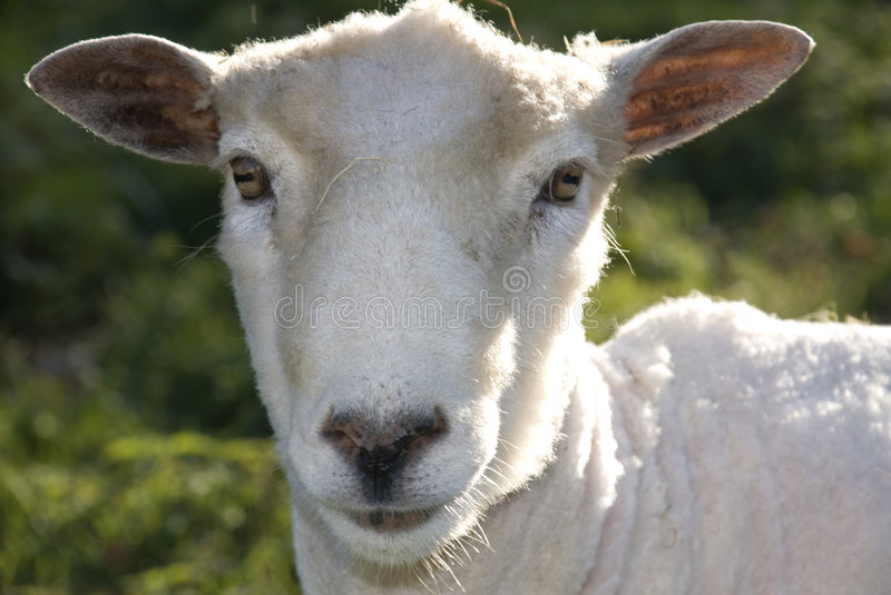 Download Friendly sheep stock photo. Image of animal, tame, pasture - 3501466