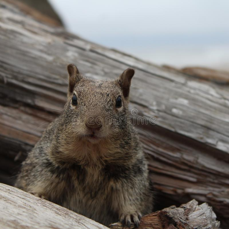 Friendly squirrel. A cute, very friendly, hungry squirrel royalty free stock image