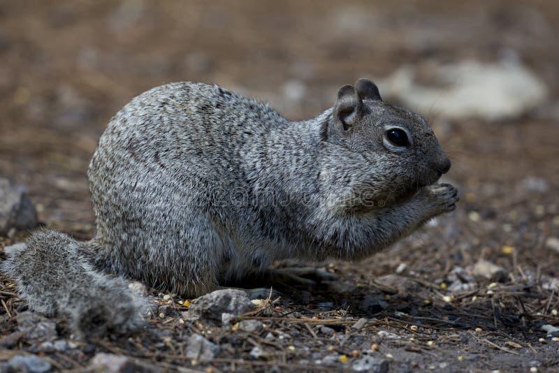 Friendly squirrel in Tucson, Arizona. Friendly squirrel on Mt. Lemmon, a sky island in Tucson, Arizona royalty free stock photography