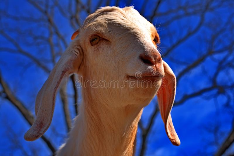 Download Friendly White Boer Goat stock photo. Image of goats, white - 4472890