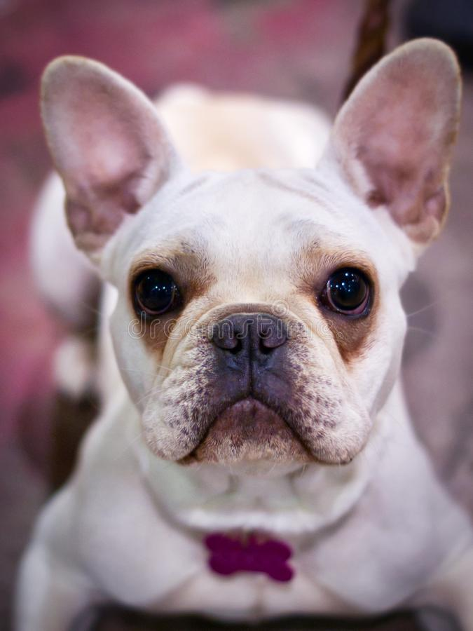 A friendly white french bull dog royalty free stock photos