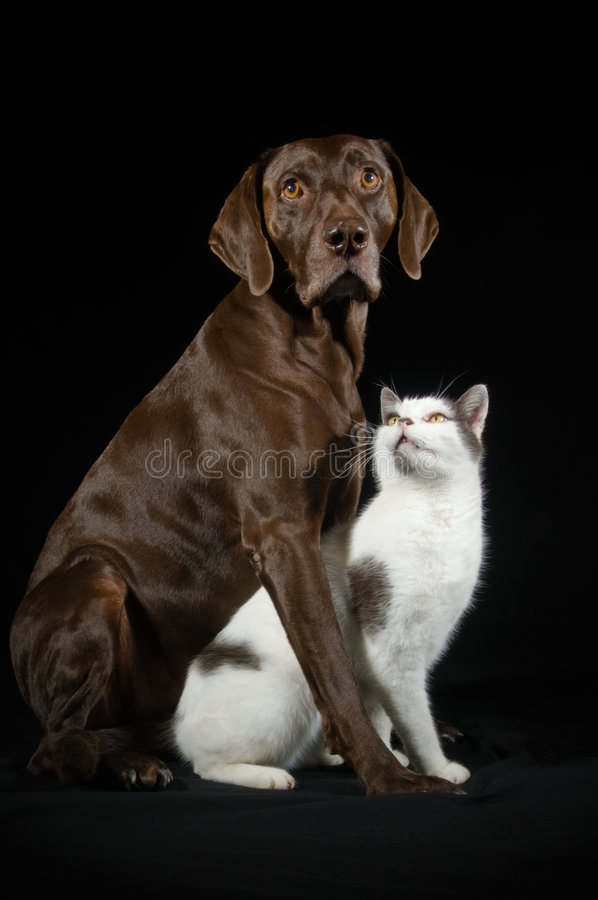 Friends. Relationship comp portrait of a German Shorthaired Pointer and a white and black cat who are best friends