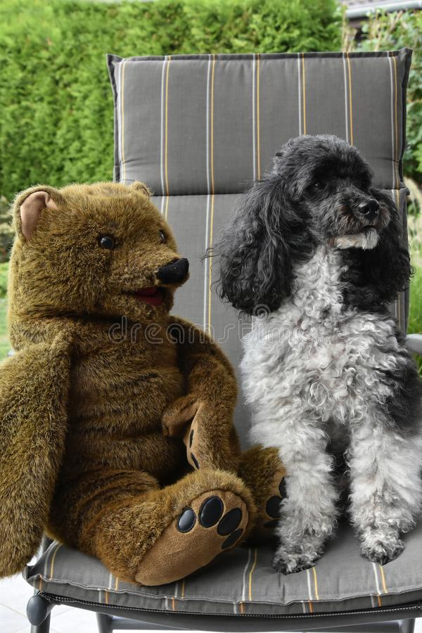 Friends, harlequin poodle and teddy bear. Harlequin poodle and his friend a teddy bear sitting together on a chair in the garden stock photography