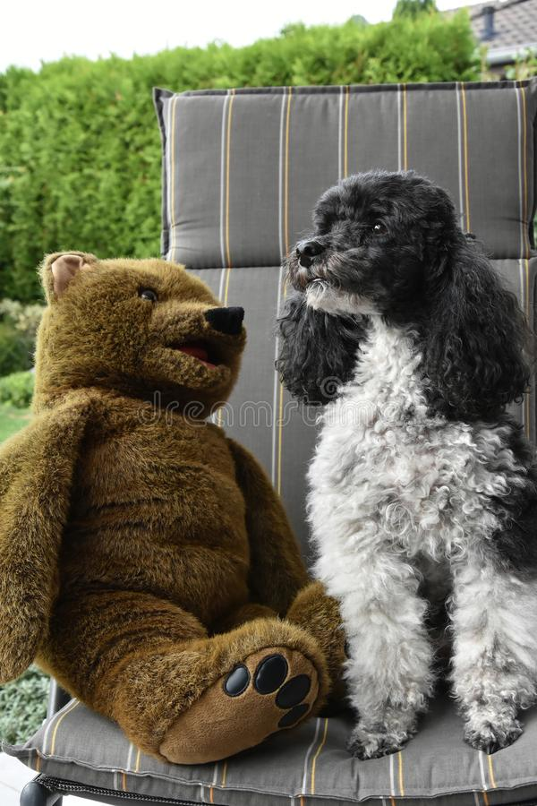 Friends, harlequin poodle and teddy bear. Harlequin poodle and his friend a teddy bear sitting together on a chair in the garden stock image