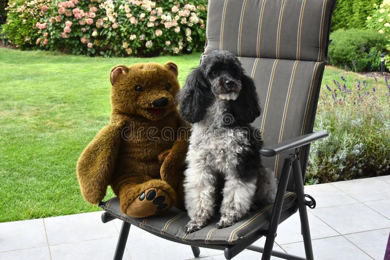 Friends, harlequin poodle and teddy bear. Harlequin poodle and his friend a teddy bear sitting together on a chair in the garden stock images