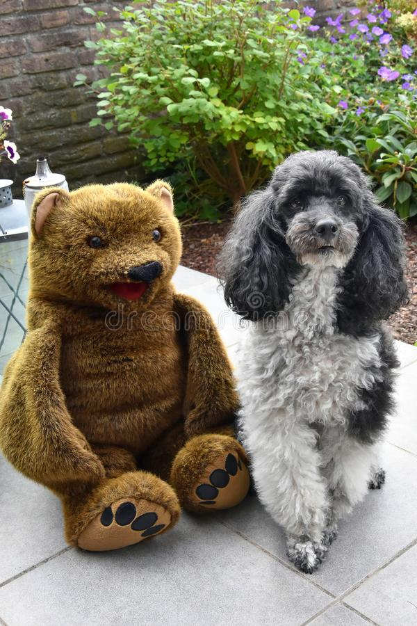 Friends, harlequin poodle and teddy bear. Harlequin poodle and his friend a teddy bear sitting together on terrace in the garden stock image