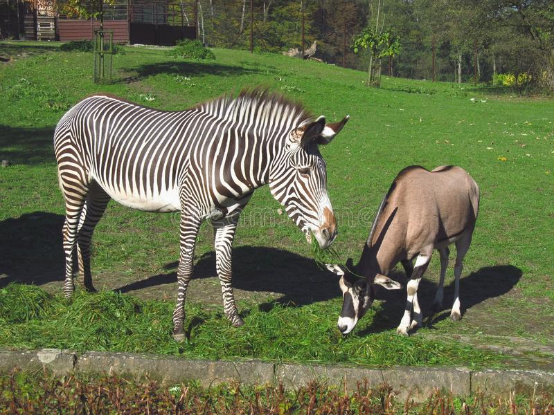 Friends. Zebra and east african oryx pasturing together royalty free stock photos