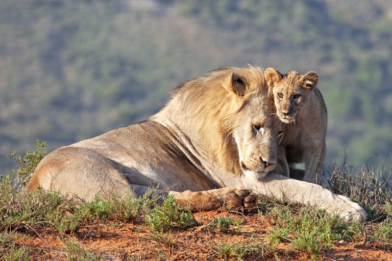 Friendship. African lion father and son (Panthera leo), South Africa stock images