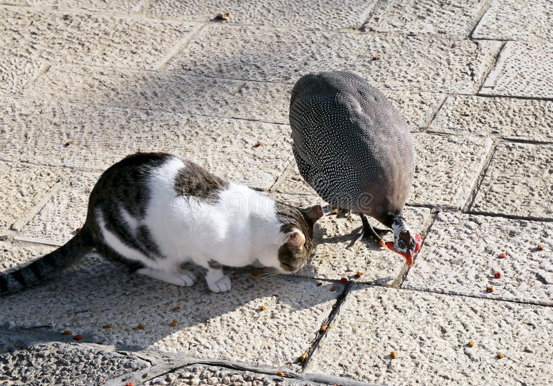 Friendship between cat and guinea fowl stock images