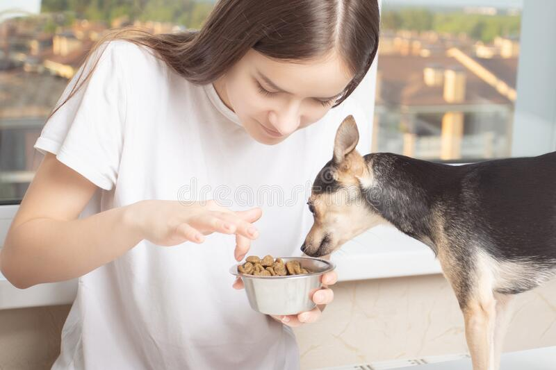 Friendship concept with pet. A young girl in home clothes gives food to a small dog. Looks in her bowl stock photos