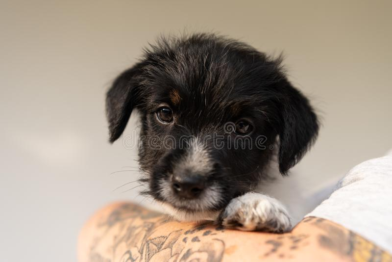 Friendship between owner and his  young Jack Russell Terrier puppy dog. Handler is wearing it. pup 7.5 weeks old. Friendship between owner and his baby Jack royalty free stock image