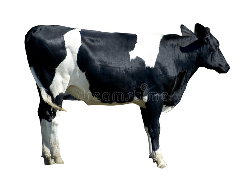 Friersian cow (isolated) royalty free stock photo
