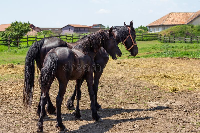 Friesian black horse royalty free stock photography