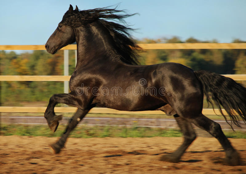 Friesian black horse gallop royalty free stock photography