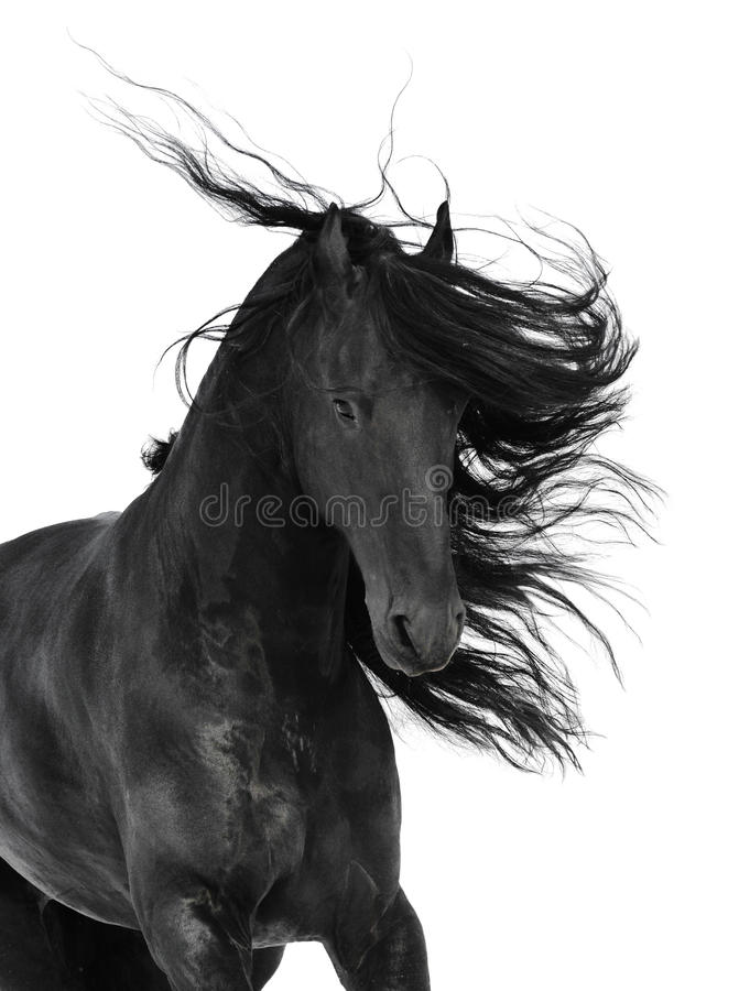 Download Friesian Black Horse Isolated On The White Stock Image - Image: 54267803