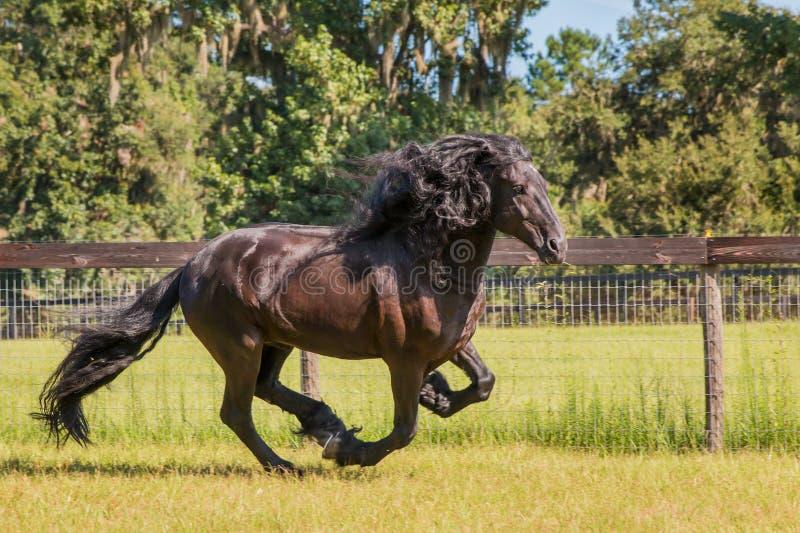 Friesian/Frisian-paard die op gebied naast omheining galopperen royalty-vrije stock afbeelding