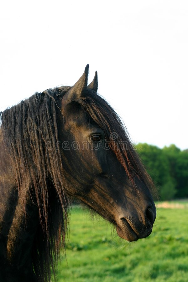 Download Friesian horse stock image. Image of head, feathers, green - 785595