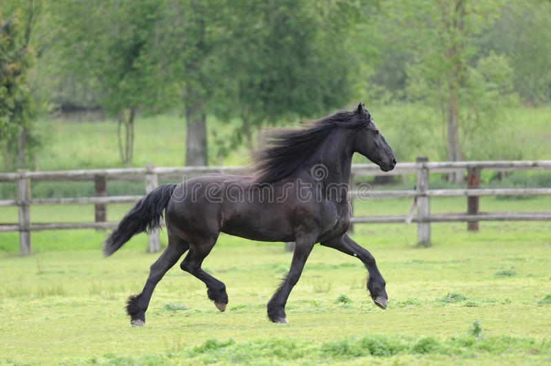 Friesian horse in the field. Friesian horse in the spring field royalty free stock images
