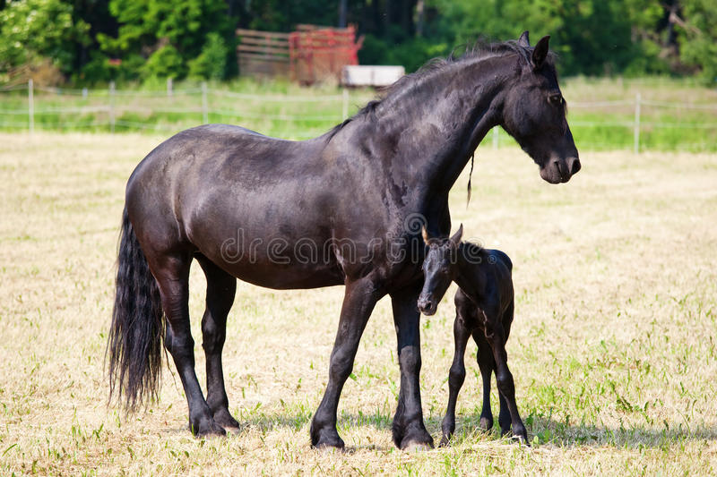 Friesian horse and foal standing on the field royalty free stock photography