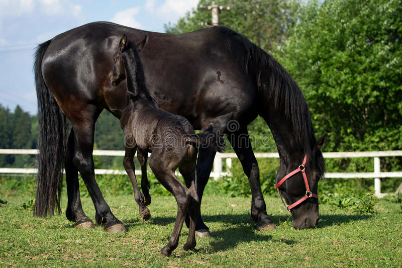 Friesian horse mare with foal stock photo