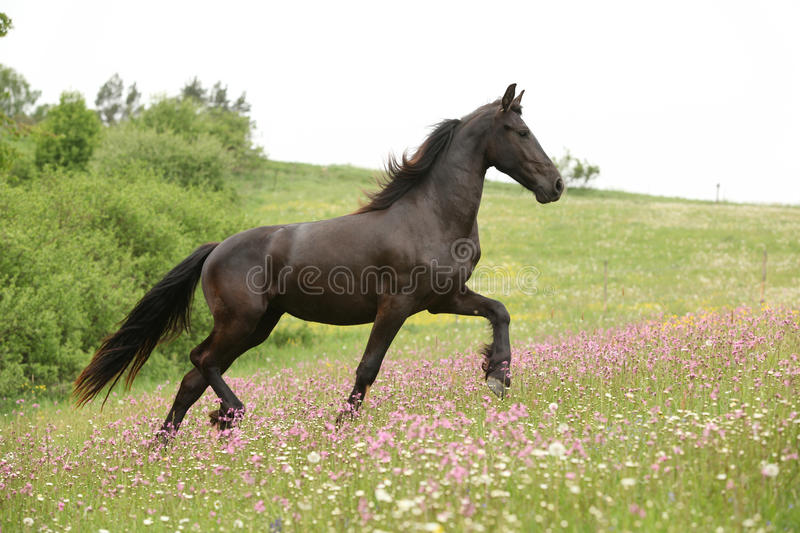 Friesian horse running on pasturage with pink flowers. Black Friesian horse running on pasturage with pink flowers stock images