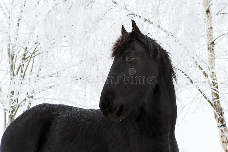 Friesian horse in winter with snow covered trees.  royalty free stock images