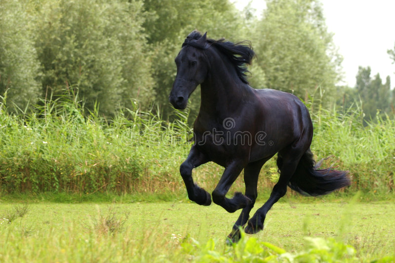 Friesian paard royalty-vrije stock afbeelding